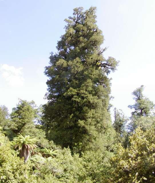 Kahikatea tree