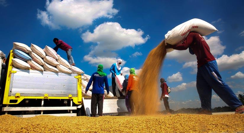 Filipino rice farmers